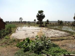Rice Field Irrigated