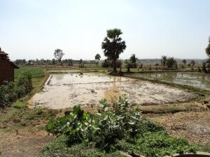 Rice Field Irrigated