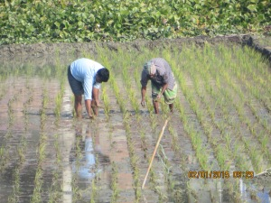 Men planting rice near new village