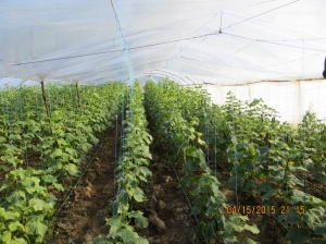 Self-sustainable Greenhouse Of Cucumbers - near Durres, Albania