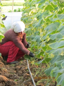 Woman Prunning In Greenhouse In Village Of Albania