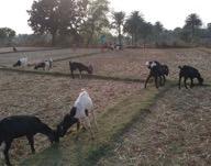 Goats(new) in Jatapara Village, India