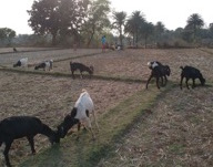 Goats(new) in Jatapara Village, India